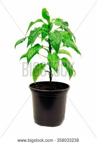 Young Green Plant. Tomato Plants In A Pot Isolated On A White Background. Seedlings Of Tomatoes. Gro