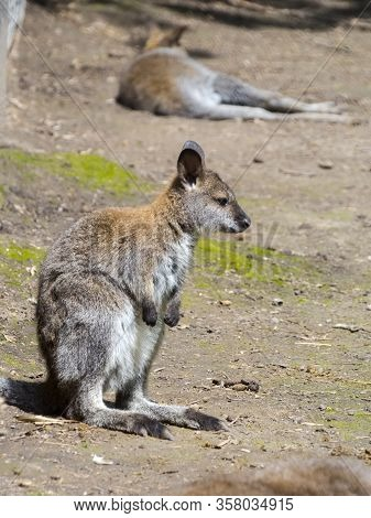 Red-necked Wallaby Or Bennett S Wallaby Baby