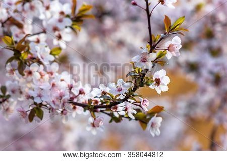 Apple Branch In Pik Blossom. Beautiful Nature Background On A Sunny Day In Spring. Blurred Backgroun