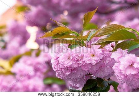 Pink Cherry Blossom Close Up On The Branch. Beaty Of Japanese Sakura Season. Wonderful Nature Backgr