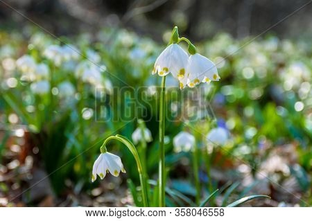 Bunch Of Snow Drop Flowers In The Woods. Beautiful Nature Background In Springtime. Sunny Weather. B