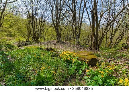 Path Through Forest On A Sunny Day In Spring. Leafless Trees. Yellow Herbs By The Road