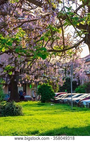 Uzhhorod, Ukraine - May 01, 2018: Paulownia Tomentosa Tree In Blossom Close Up, Located On Koriatovy