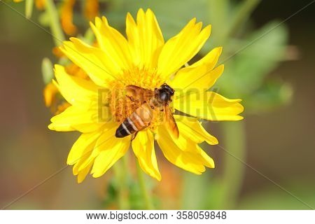 Honeybee Or Apis Dorsata Bee Collecting Nectar On Wild Yellow Marigold Flower With Blurred Nature Ba