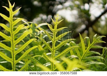 Fresh Green Leaf Of The Wart Fern Of Hawii With Dew Drops Under Sunlight Morning, Commonly Called Mo