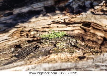A Grasshopper Is Sitting On A Tree. Green Grasshopper.