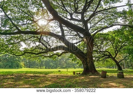 The Greenery Leaves Branches Of Big Rain Tree Sprawling Cover On Green Grass Lawn Under Sunshine Mor