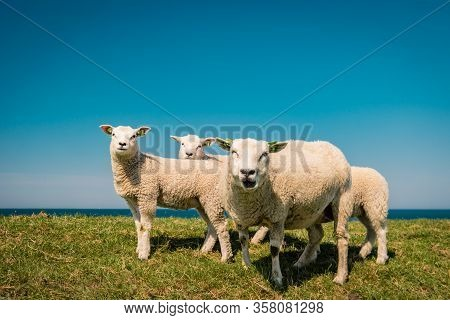 Dutch Sheeps On The Dike During Spring In The Netherlands Flevoland Noordoostpolder, Sheep And Lams