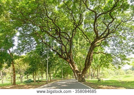 The Greenery Leaves Branches Of Big Rain Tree Sprawling Cover On Asphalt Pavement Walkway And Joggin