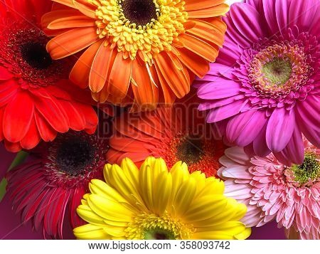 Close Up Plenty Yellow Orange Pink Red Gerbera Daisy Flowers On A Bright Pink Background