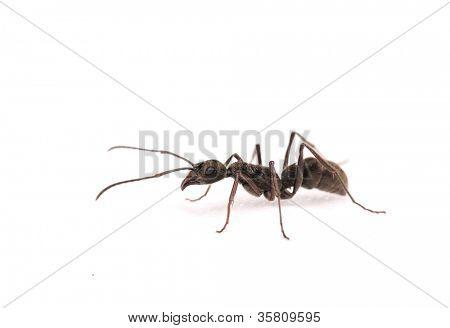 ant isolate on white background