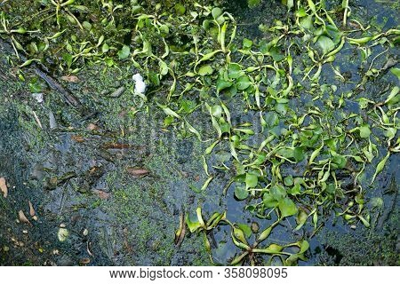 Top View Of Common Water Hyacinth Floating On The Surface Of Dirty River With Plastic Garbage From H