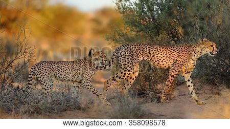 The Cheetah (acinonyx Jubatus) Walking Acros The Desert. Mother And Puppy Cheetahs In The Evening Li