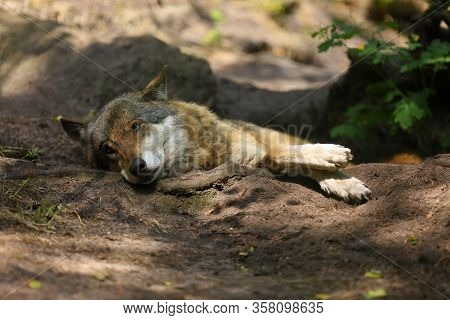 The Eurasian Wolf (canis Lupus Lupus), Also Known As The Common Wolf, Lying On The Stones.