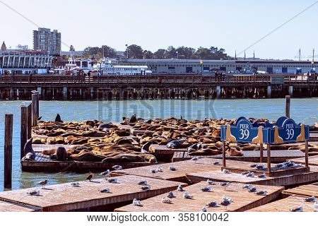 San Francisco - California, Usa. October 27, 2019: Californian Sea Lions Sunbathe On Pier 39.  Famou