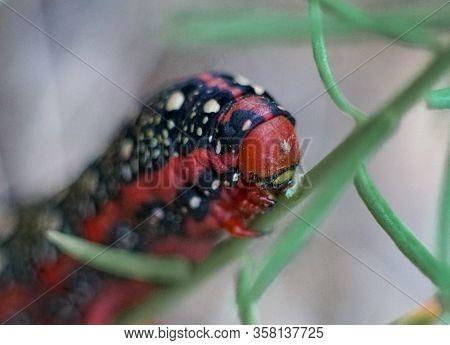 Macro Shot Of A Red Caterpillar Of A Spurge Hawk-moth (hyles Euphorbiae)
