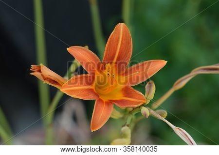 Orange Daylily Flower - Latin Name - Hemerocallis Fulva