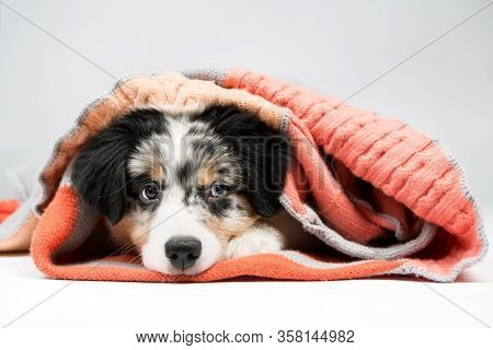 Little Funny Puppy Under The Covers. Aussie Australian Shepherd.