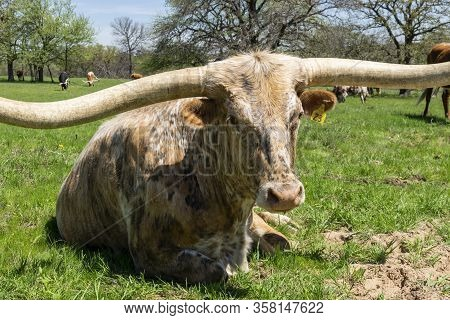 A Large Longhorn With A Mottled Pattern Of White, Brown, And Tan Spots And Very Long, Curved Horns R