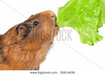 the guinea pig eats a lettuce leaf
