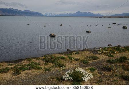 Seascape With Upland Geese Chloephaga Picta. Ultima Esperanza Province. Magallanes And Chilean Antar