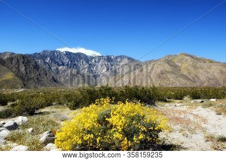 Desert Wildflowers with Mt. San Jacinto in the background, Palm Springs, California.