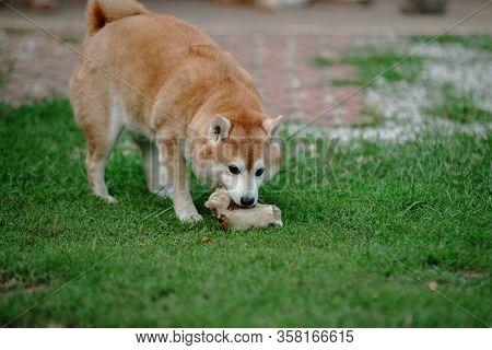 Japan Shiba Inu Dog On The Grass