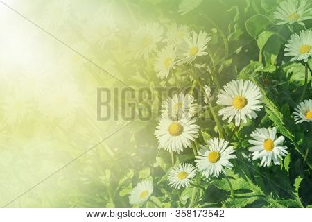 Beautiful Daisies In The Sun. Summer Bright Landscape With Daisy Wildflowers In The Meadow. Summer B