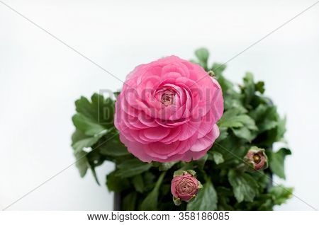 Beautiful Pink Ranunculus Flowers And Buds Close Up On White Background. Ranunculus Cultivation. Spa