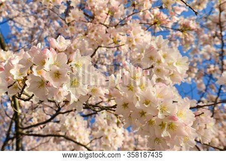 Cherry blossoms close up - Cherry Blossom Festival, Washington DC USA