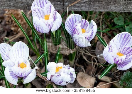 Crocus. Spring Flowers. Early Spring, Crocus Vernus. Iridaceae.
