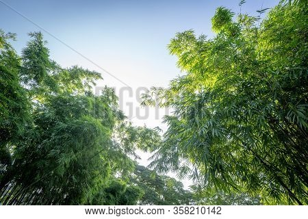 Bamboo Tree In The Forest Garden Wiht Rim Light From Open Sky, Represent The Fresh And Abundant Natu
