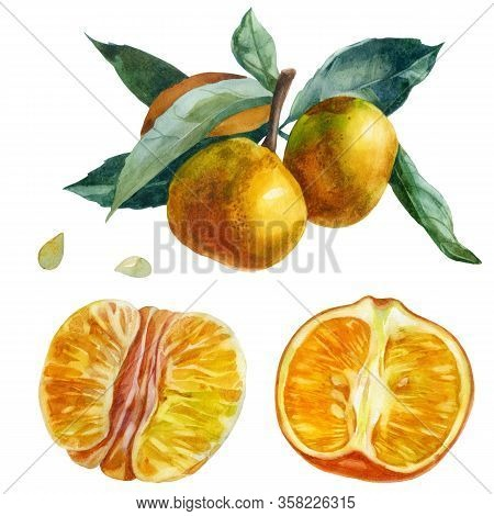 Watercolor Illustration, Set. Purified Mandarin Half, Purified Whole Mandarin Fruit. Branch With Tan
