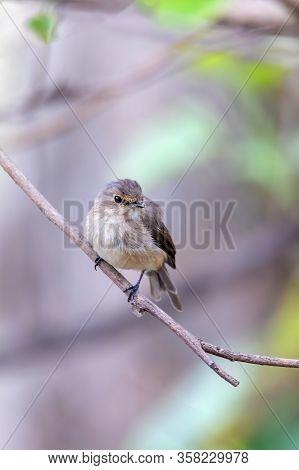 African Dusky Flycatcher, (muscicapa Adusta), Small African Bird. Gondar, Ethiopia Africa Safari Wil