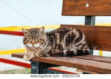 A Sad Old Cat With A Serious Face And Protruding Tongue Is Sitting On A Bench. Copy Space. Concept O