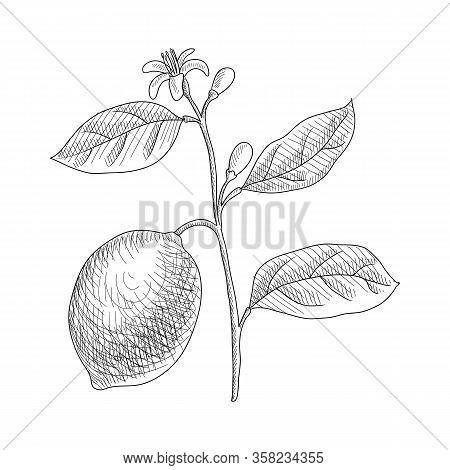 Vector Drawing Lemon Branch , Citrus Limon , Hand Drawn Illustration