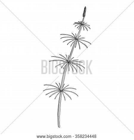 Vector Drawing Horsetail Plant , Equisetum Arvense, Hand Drawn Illustration