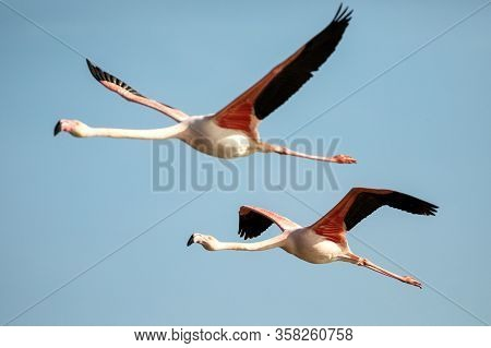 Flying Greater Flamingo (phoenicopterus Roseus), Camargue, France, Pink Bird On The Blue Sky. Action