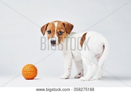 Jack Russel Terrier Dog With Small Orange Toy Ball On The White Background