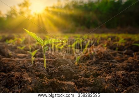 Sapling Mung Bean In Agriculture Garden With Light Shines Sunset