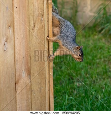 Squirrel Running Down The Side Of A Fence, Frozen In Action, Wildlife, Animal, Nature.