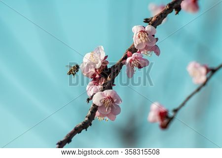 Close-up Shot Of Pollination Process Of Blossoming Beatiful Peach Flowers Performed By Bees And Bumb
