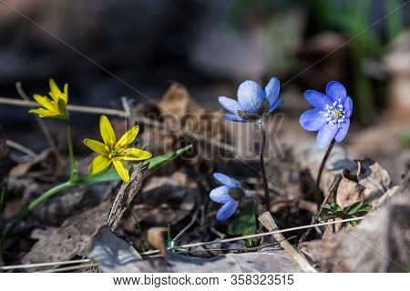 Springtime Flowers - Blue Anemones And Yellow Stars Of Bethlehem