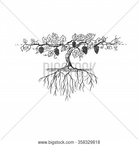 A Stunning Large And Fertile Grape Bush With Lots Of Grapes And A Branchy Root Fertile Grape Branch