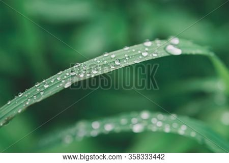Green Grass With Water Drops, Close-up Leafs, Eco Background