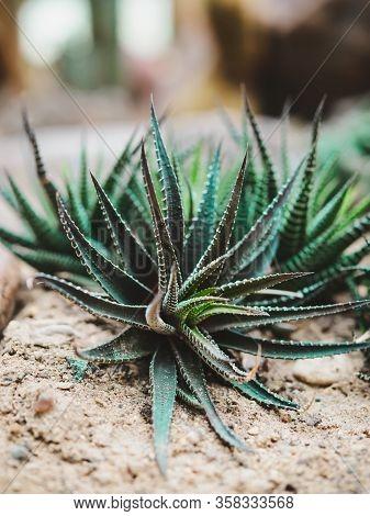 Cactus Of Various Shapes Grown In Sand Desert Terrain.close-up