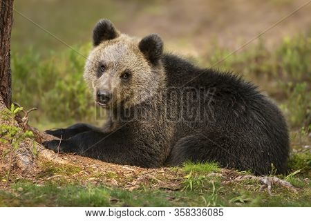 Close Up Of Eurasian Brown Bear (ursus Arctos Arctos) Cub Lying In Boreal Forest, Finland.