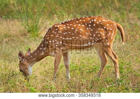 Young female chital or spotted deer grazing in fresh green grass in the forest of Ranthambore National Park. Safari, ecology tourism, animal protection concept. Rajasthan, India