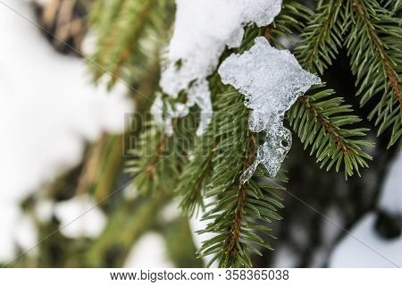 Melting Snow On Spruce Branches, Evergreen Spruce With The Snow Melting, Beautiful Spruce