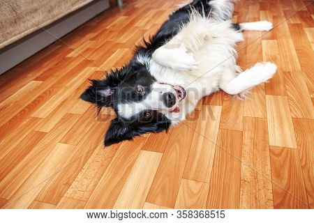 Stay Home. Funny Portrait Of Smilling Puppy Dog Border Collie Lying On Floor Indoors. New Lovely Mem